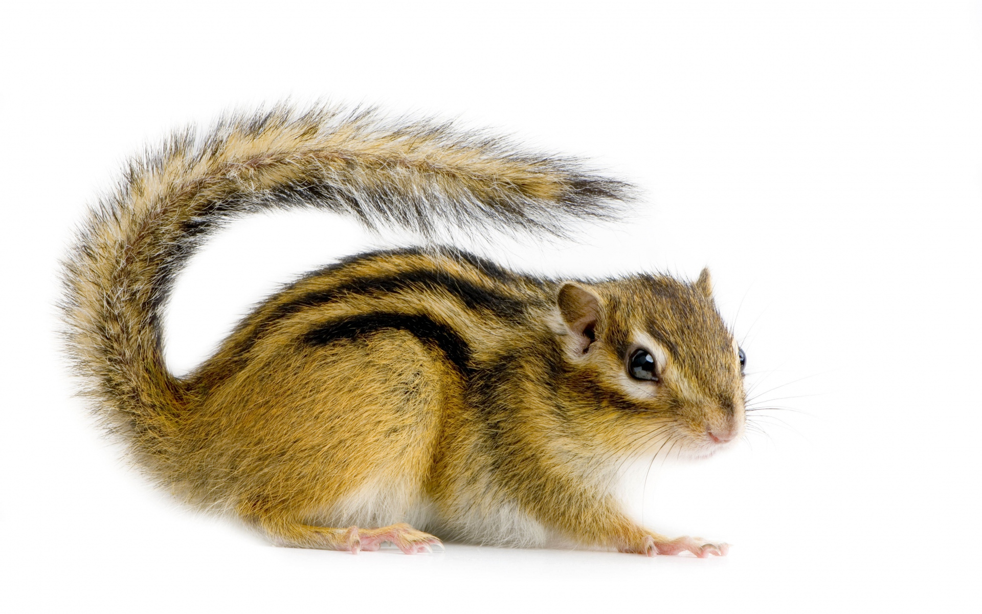 chipmunk_white_background_animal_78134_1920x1200