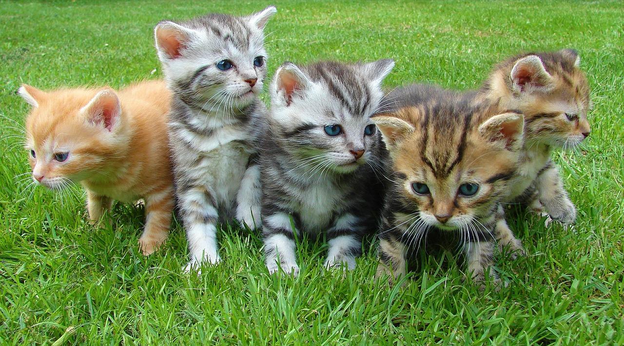 como cuidar de un gato o gatito