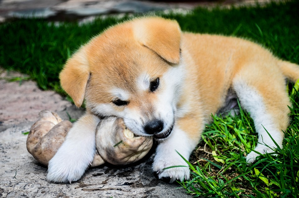 Cómo es el perro Akita Inu
