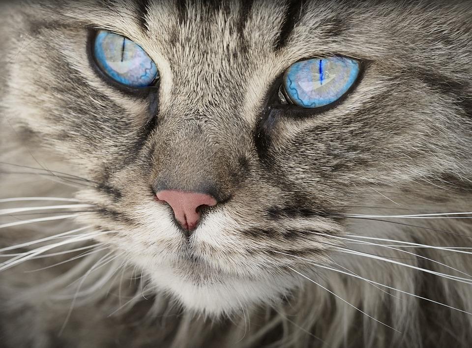 Qué comen los gatos