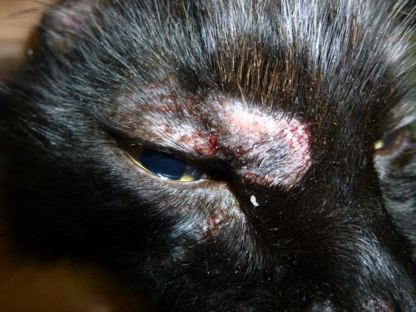 Mi gato tiene costras, ¿qué le pasa?