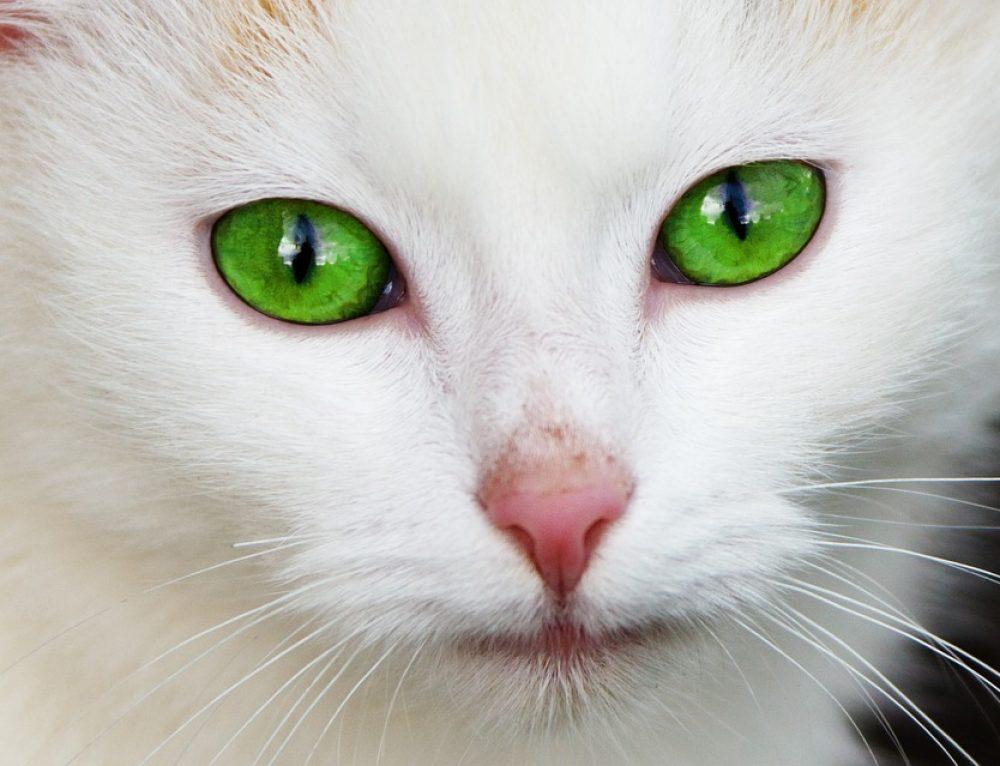 El cambio de color en los ojos del gato