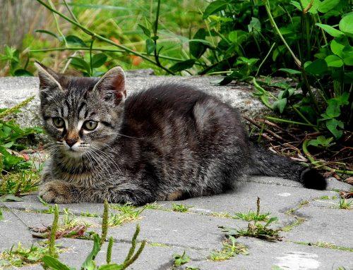 Mitos sobre la esterilización y castración felinas