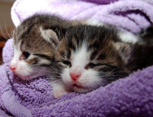 Causas de la fiebre en gatos