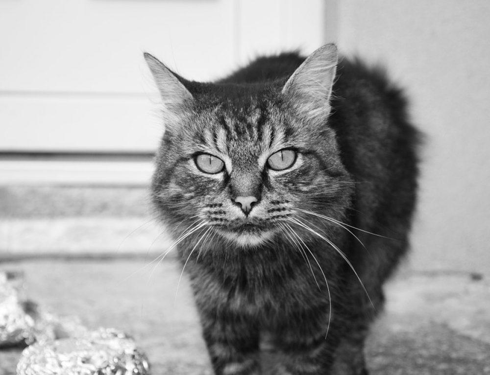 Historia de los gatos domésticos