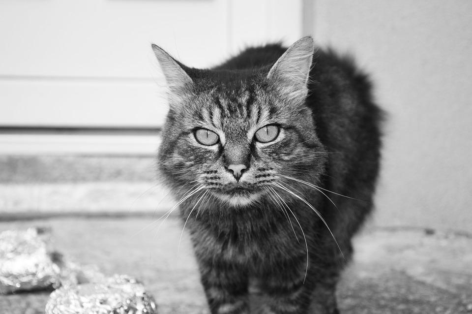 cat-998715_960_720