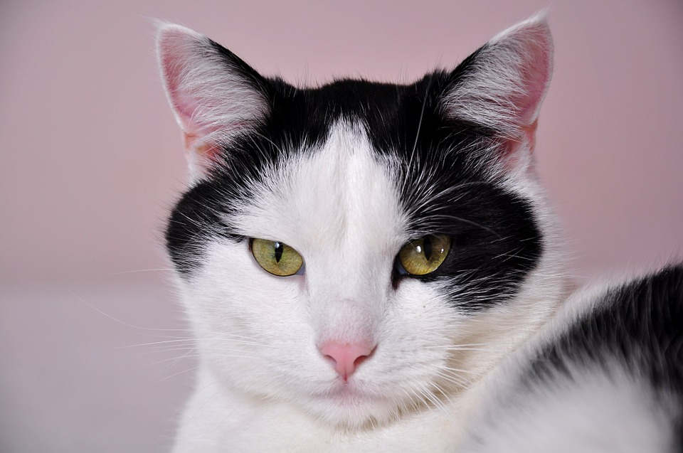 cats-796437_960_720