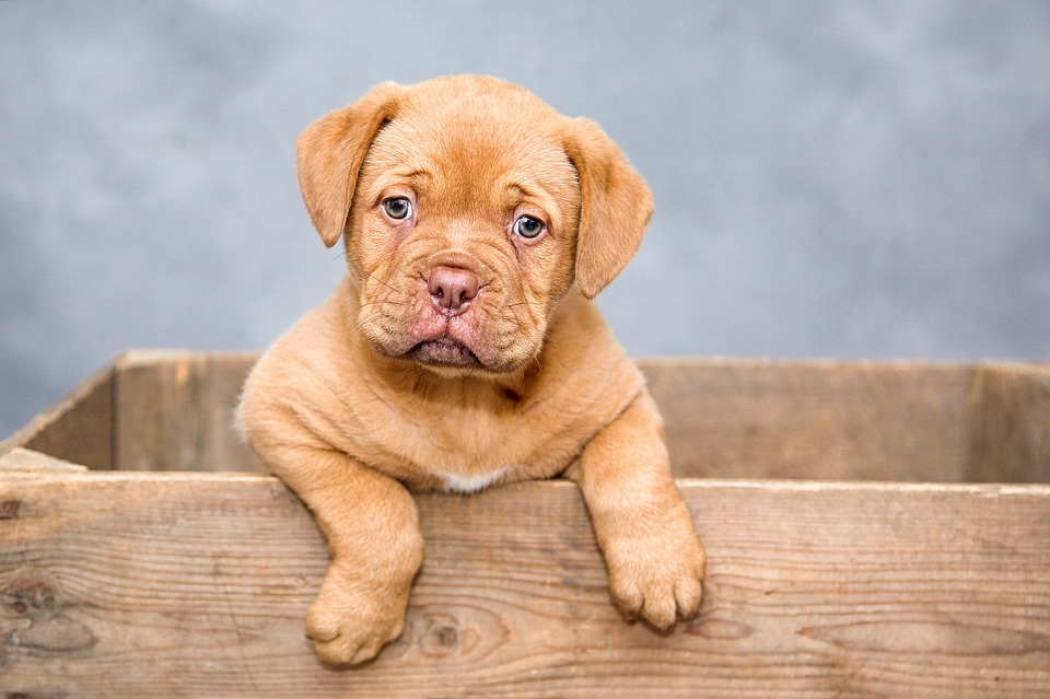 dogue-de-bordeaux-1047521_960_720
