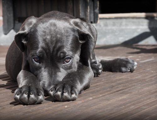 Cómo saber si mi perro está envenenado