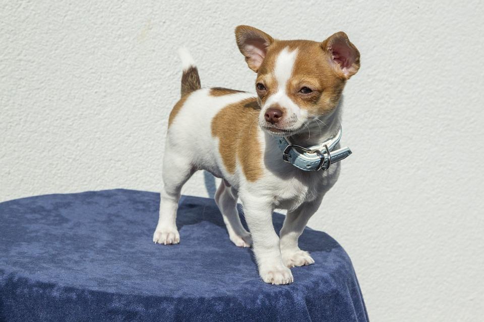 puppy-1047454_960_720
