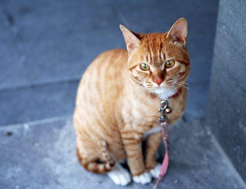 Cómo mantener al gato cerca de casa