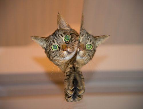 ¿Los gatos se pueden reconocer en el espejo?