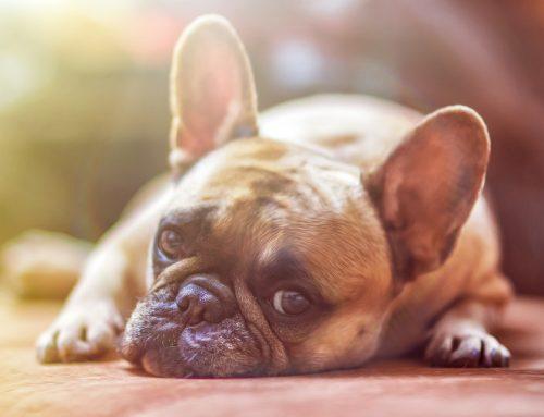 Raza de Perro Bulldog Frances