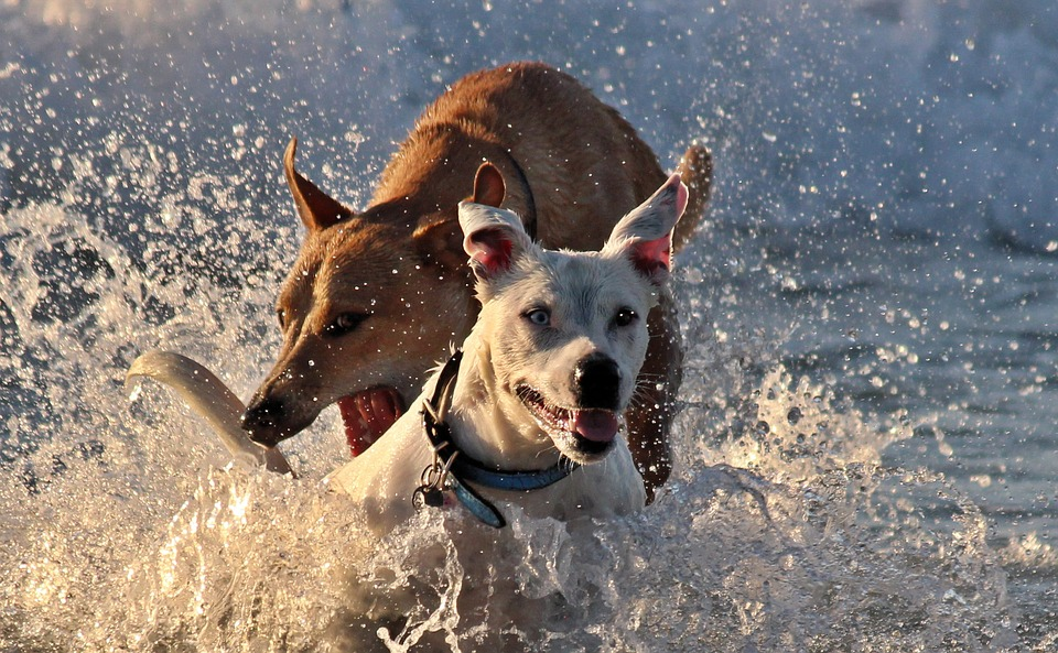 dogs-1329531_960_720