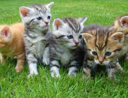 Qué debe comer un gatito pequeño