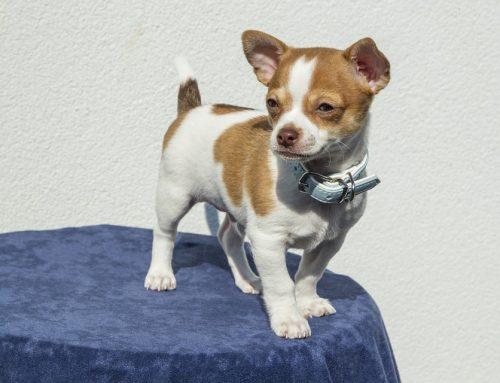 Cómo debe ser el collar de mi perro