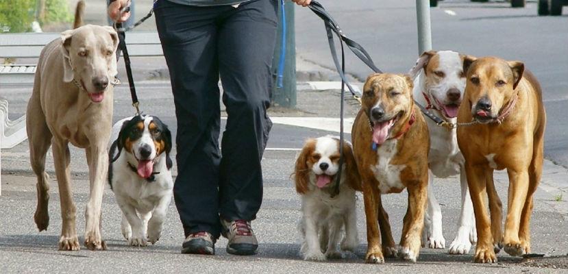 Paseador de perros, una profesión seria y respetada