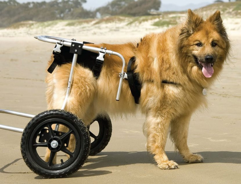 Cómo cuidar a un perro con displasia de cadera