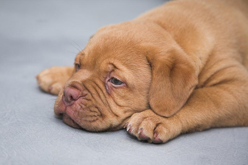Cuidados para un cachorro con bajo peso