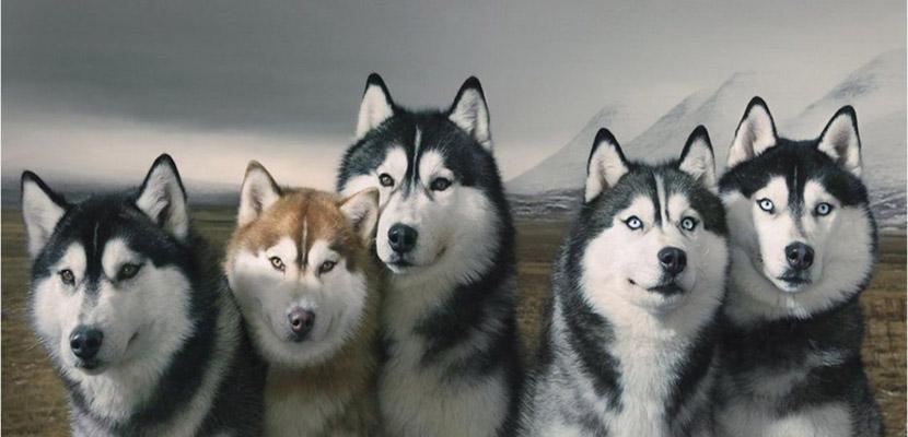 Cuidados del pelaje del Husky Siberiano