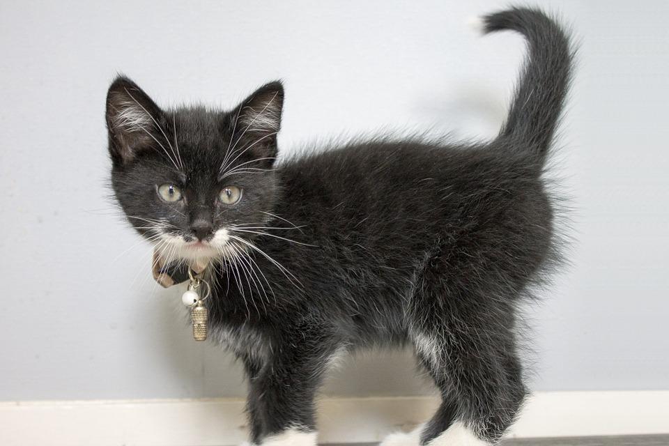 Por qué los gatos levantan la cola cuando los acarician