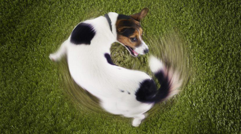 Por qué mi perro se persigue la cola