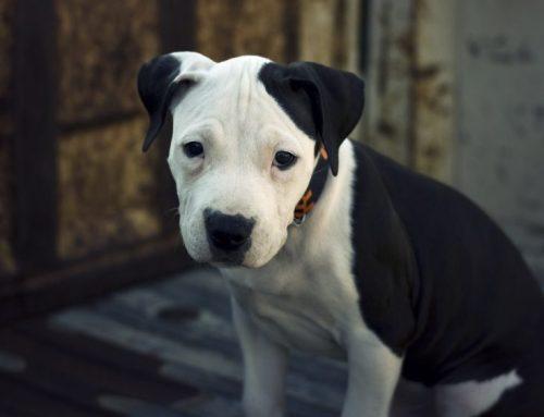 Cómo es un Pit Bull Terrier