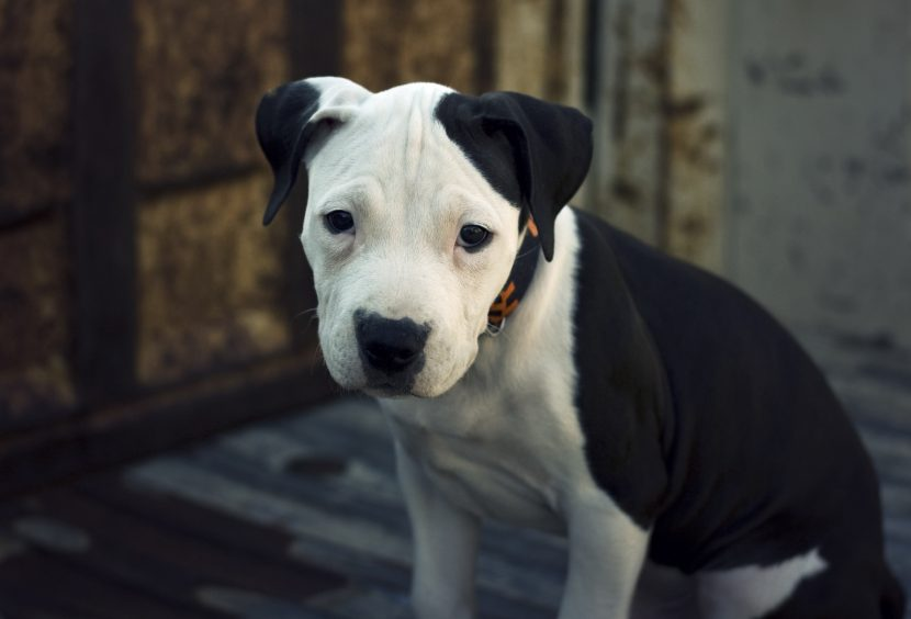 american_pit_bull_terrier-830x564