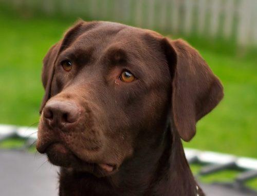 Cómo es un Labrador Retriever
