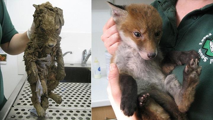 Muddsey, el animal cubierto de barro que sus rescatadores no identificaron