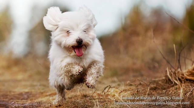 perro-coton-de-tulear-3