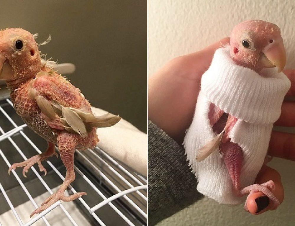 Rhea, el periquito sin plumas que se ha hecho famoso en Internet