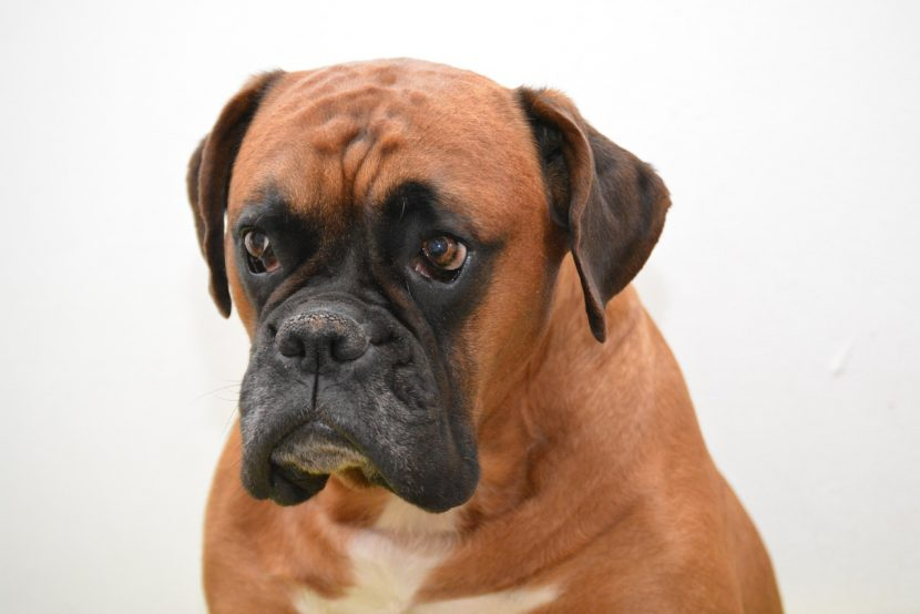 boxer-marron-830x554