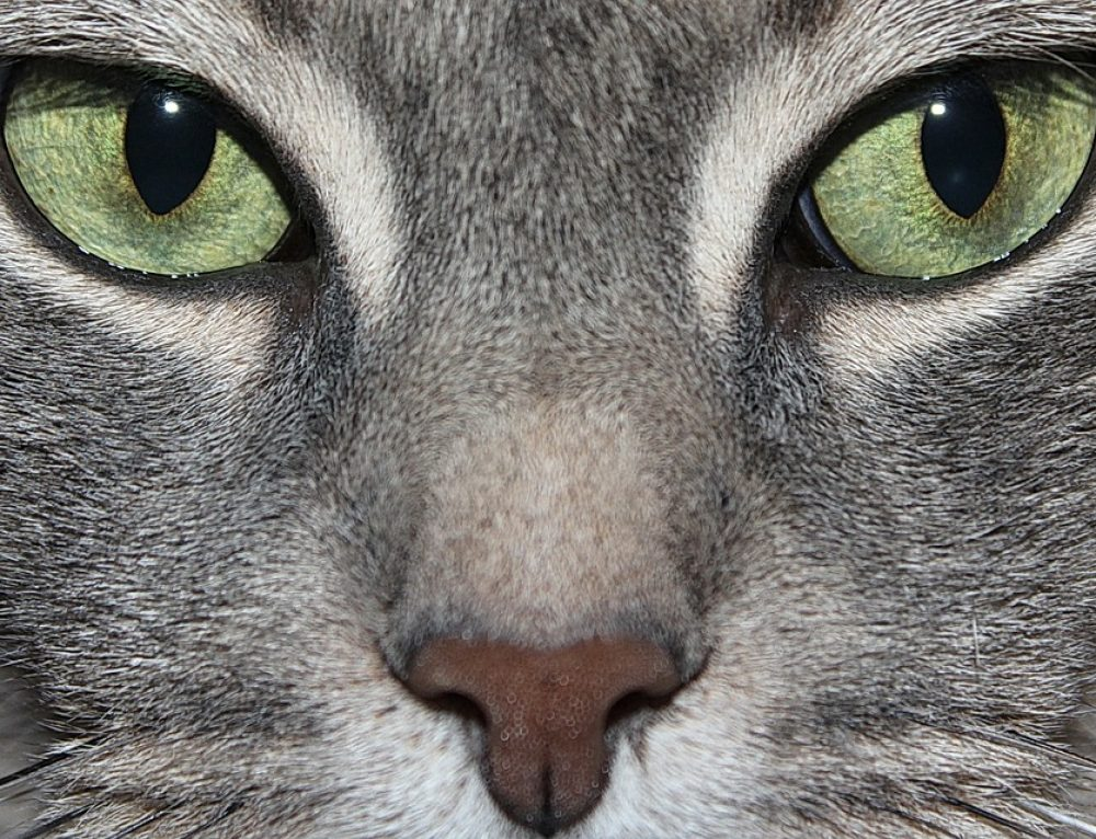 Cómo cuidar a un gato común europeo