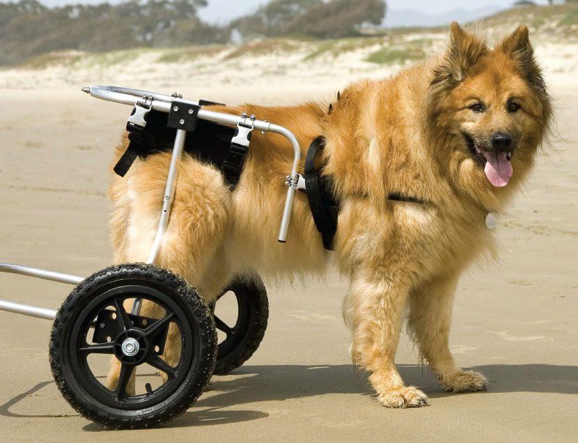displasia-canina-830x636