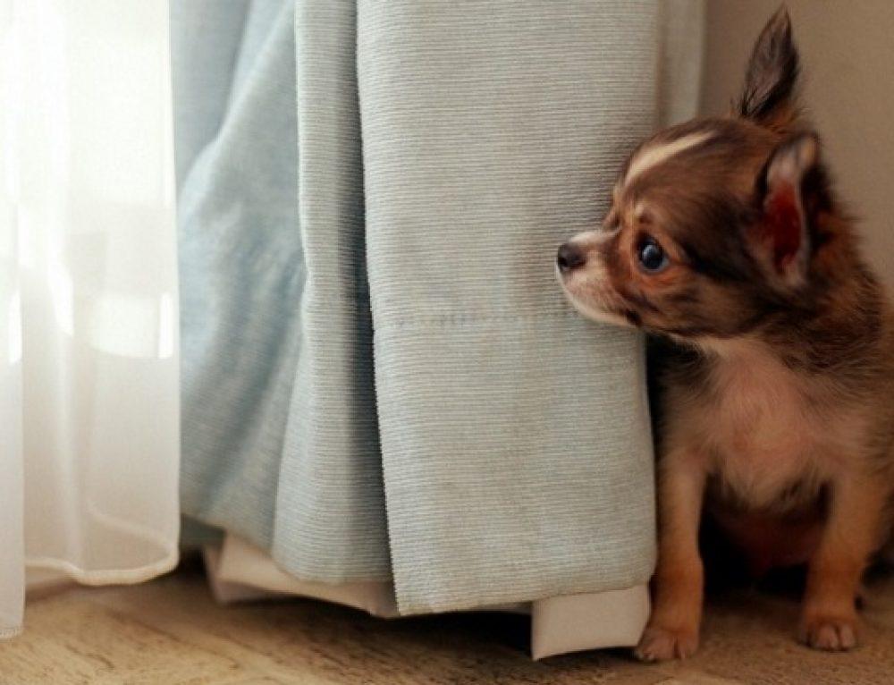Divertido vídeo de un perro que no sabe jugar al escondite