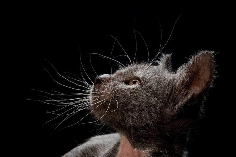 Los curiosos gatos lobo o Lykoi
