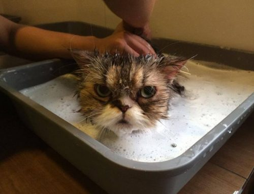 Cuándo empezar a bañar a un gato