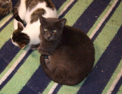 Corte de orejas en gatos, ¿por qué se hace?