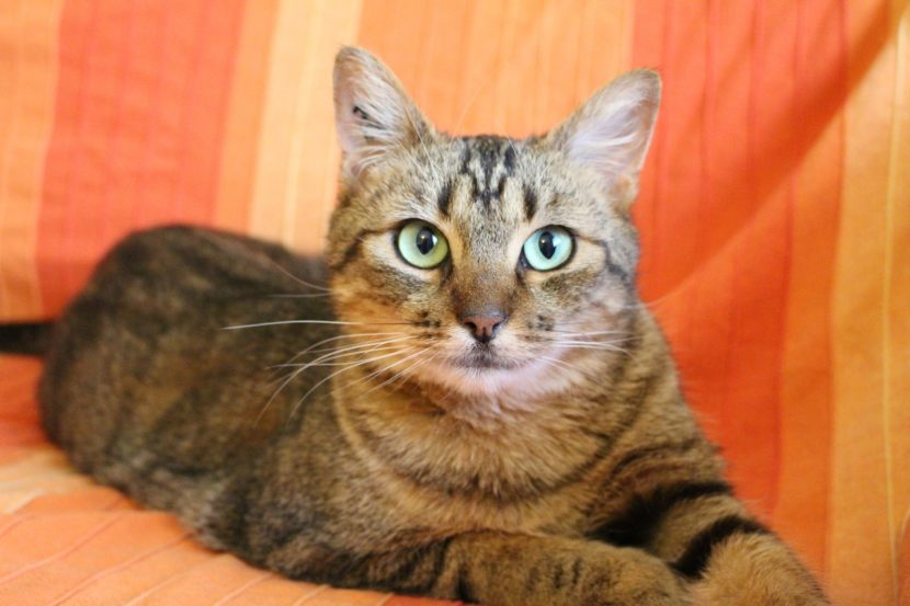 gato-de-ojos-verdes-830x553