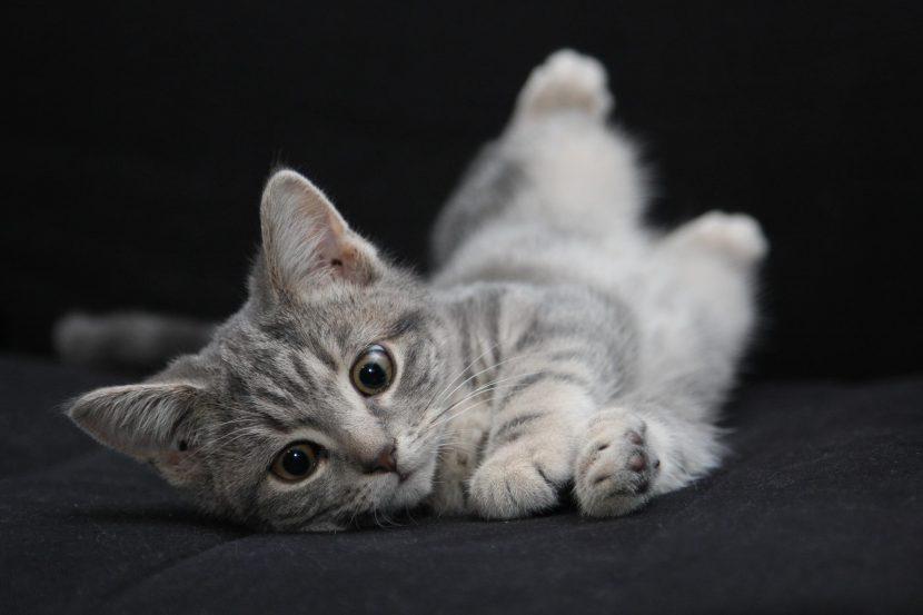 Por qué mi gato se revuelca en el suelo