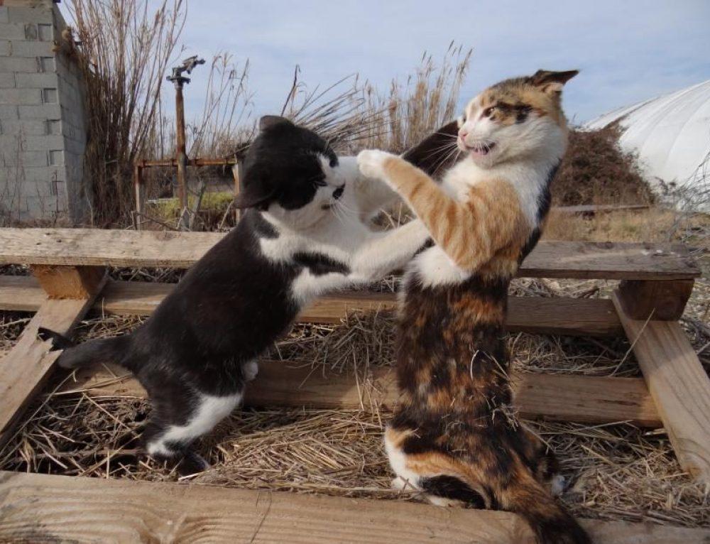 Cómo evitar las peleas de gatos