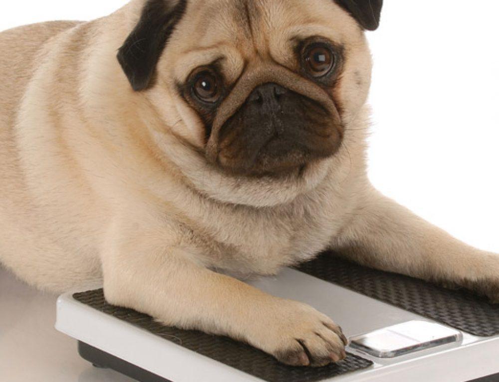 Cómo hacer adelgazar a un perro obeso