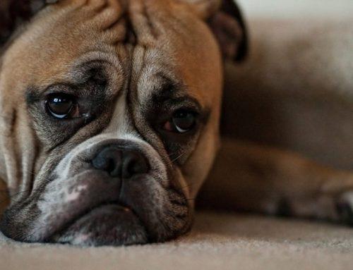 Cómo saber si mi perro tiene depresión