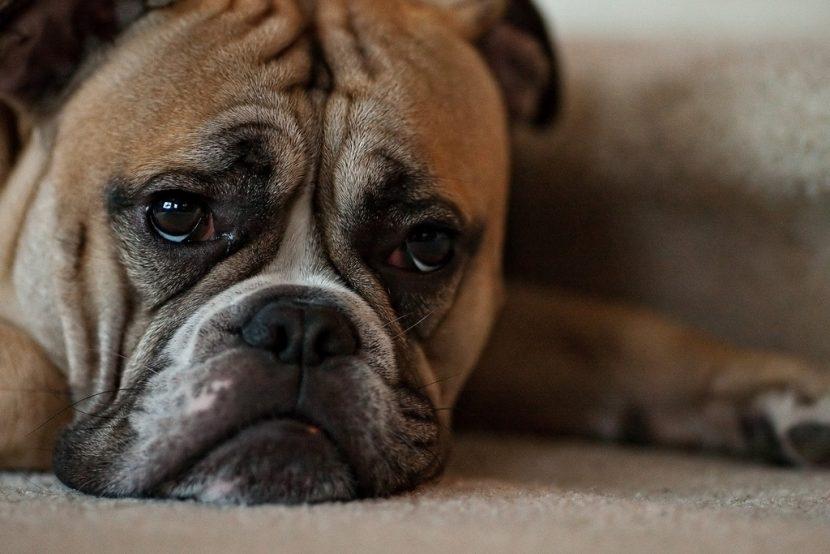 perro-triste-830x554
