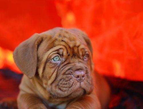 Síntomas de los problemas urinarios en perros