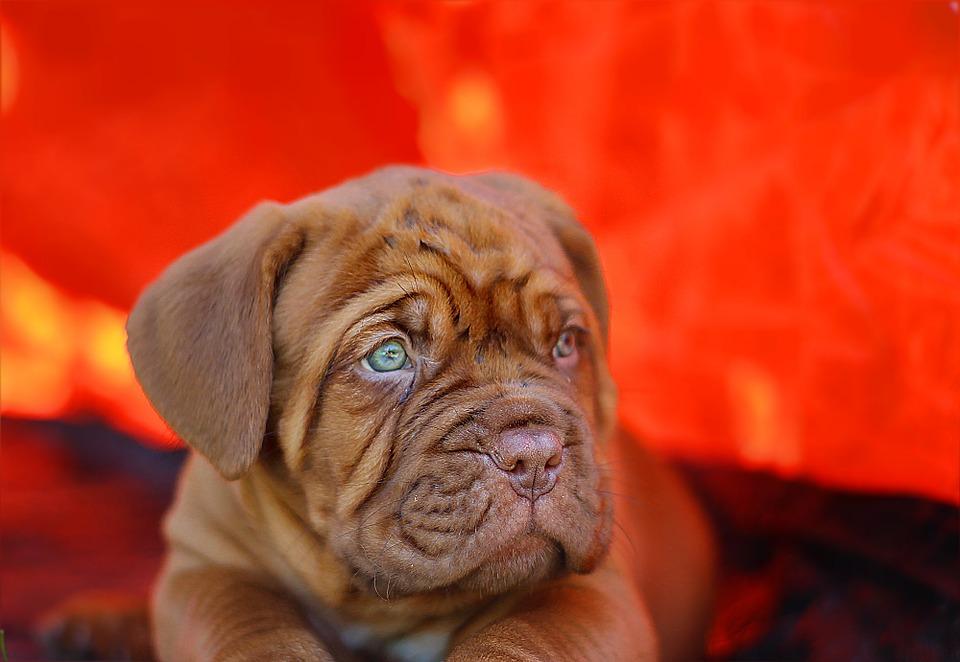 puppy-742618_960_720