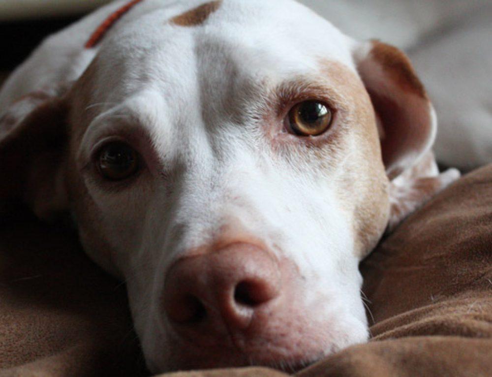 Razones por las que el perro llora