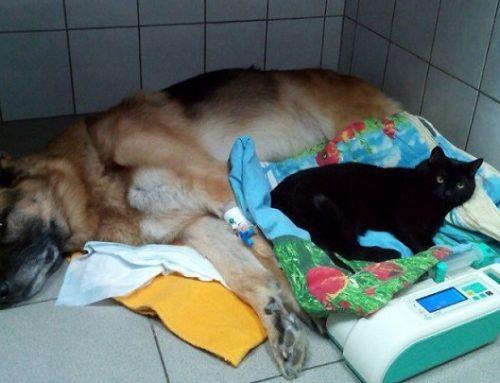 El gato que no puede andar pero ayuda a otros animales a sentirse mejor