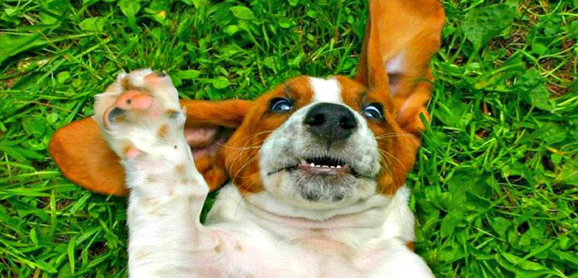 cuidar-orejas-perros